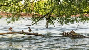 Mandarin duck family at water. In the city Stock Images