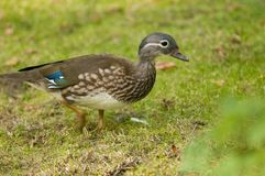 Mandarin Duck, female Stock Photography