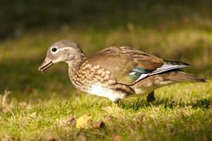 Mandarin Duck female Stock Images