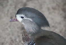 Mandarin duck. Female Mandarin duck close up of head Royalty Free Stock Photography