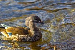 Mandarin duck female Royalty Free Stock Images