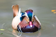 Mandarin duck floating and calm on the water, lonely Stock Photos