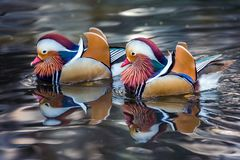 Mandarin duck floating. Mandarin duck floating in a pond Stock Photo