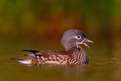 Mandarin duck floating on the water Stock Photos