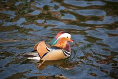 A mandarin duck floating on water. The mandarin duck Aix galericulata is a perching duck species found in East Asia. It is medium-sized, at 41–49 cm 16–19  Stock Photos
