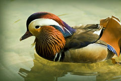 Mandarin duck floating in water pond Royalty Free Stock Image