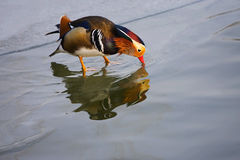 Mandarin Duck. Foraging on the ice surface Royalty Free Stock Images