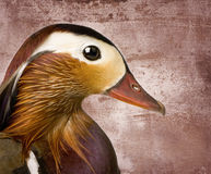 Mandarin duck in front of a Brown Stock Image
