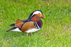 Mandarin duck on grass Stock Photo