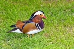 Mandarin duck on grass. A male Mandarin duck (Aix galericulata) on grass Stock Photo