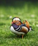 Mandarin duck on green grass. & x28;Aix galericulata& x29; Stock Photography