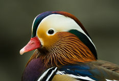 Mandarin Duck Royalty Free Stock Photos