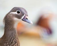 Mandarin Duck Hen. Profile Portrait of a Mandarin Duck Hen stock photos