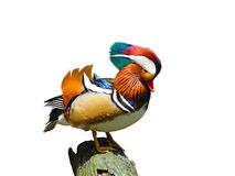 Mandarin duck isolated on white background Stock Photos