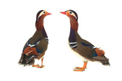 Mandarin duck Stock Images