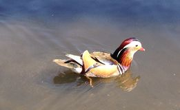 Mandarin duck Stock Photos