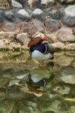 Mandarin duck. Mandarin duck (lat. Aix galericulata) is a small bird of the genus forest ducks family of ducks. Lives Mandarin duck in the Far East. The stock photos