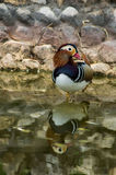 Mandarin duck. Mandarin duck (lat. Aix galericulata) is a small bird of the genus forest ducks family of ducks. Lives Mandarin duck in the Far East. The royalty free stock image