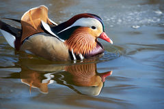 Mandarin duck. Llangorse lake, wales Royalty Free Stock Photo
