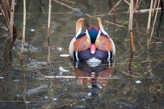 Mandarin duck. Llangorse lake, wales Stock Image