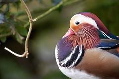 Mandarin duck. Llangorse lake, wales Royalty Free Stock Photos