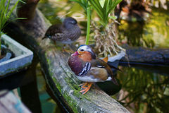 Mandarin duck on log at pond Royalty Free Stock Image
