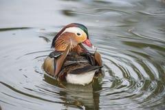 Mandarin Duck Looking Back Royalty Free Stock Photography