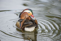 Mandarin Duck Looking Back Royalty Free Stock Photography