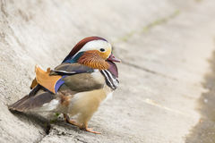 Mandarin duck male Stock Images