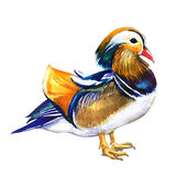 Mandarin Duck Male, Aix Galericulata, Isolated, Watercolor Illustration On White Stock Image