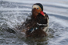 Mandarin duck male Stock Photo