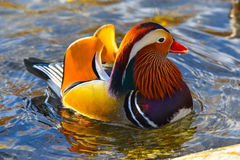 Mandarin duck male Stock Image