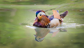 Mandarin Duck, male Royalty Free Stock Image