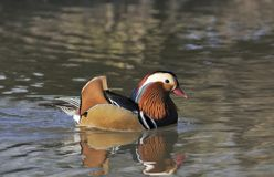 Mandarin Duck. Aix galericulata Royalty Free Stock Photography