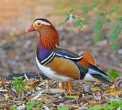 Mandarin duck in the marsh Stock Image