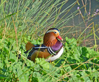 Mandarin duck in the marsh Royalty Free Stock Images