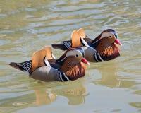 Mandarin Duck Pair Royalty Free Stock Images