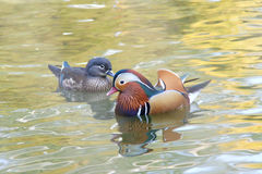 Mandarin duck. A pair of mandarin duck in water royalty free stock photography