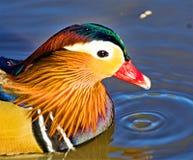 Mandarin duck portrait, in North West Wetlands. stock photos