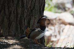 Mandarin duck in profile, the king of the lakes for its great color, next to a pine in the lake of Castell del Remei, Lerida royalty free stock photos