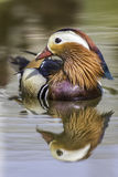 Mandarin duck in profile with reflection. Male mandarin duck (Aix galericulata) in profile with reflection in the water Royalty Free Stock Image