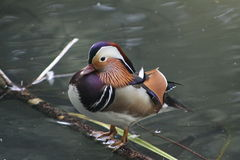 Mandarin duck. Resting on the log in the water Royalty Free Stock Image