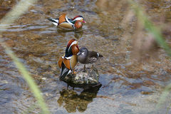 Mandarin Duck. In the riiver Royalty Free Stock Photo