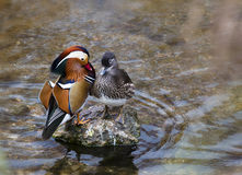 Mandarin Duck. In the riiver Royalty Free Stock Images