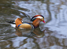 Mandarin Duck. In the riiver Stock Photo