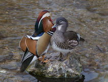 Mandarin Duck. In the river Stock Images