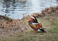 Mandarin duck. On the riverside Royalty Free Stock Images