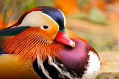 Mandarin Duck. Sitting by a pond Royalty Free Stock Photos