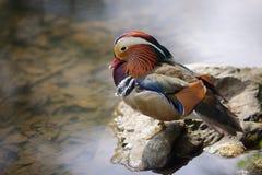 Mandarin duck sitting at pool Stock Images