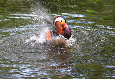 Mandarin Duck Splashing Stock Photo
